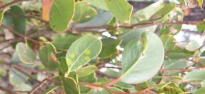 Heart-leaved Stringbark